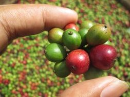 young coffee bean close