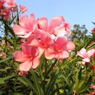 pink flowers in Dharwad, India