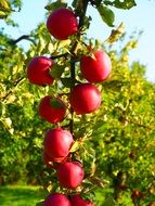 tree fruit red frisch healthy apple