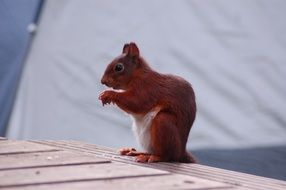 squirrel on a wooden table