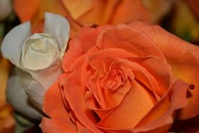 white orange roses macro photo