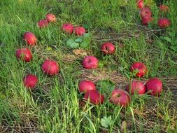 windfall apple red fruits orchard