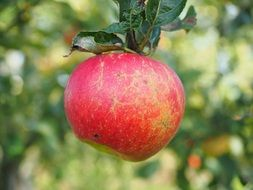red delicious garden apple