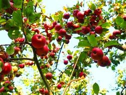 apple tree in the garden