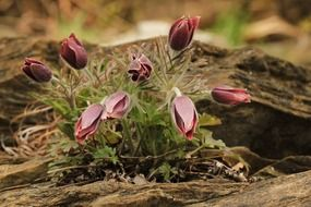 pasqueflower plant