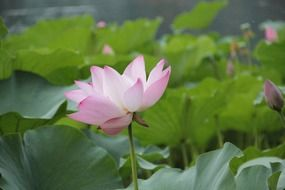 cute lotus aquatic plants