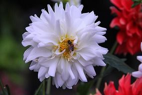 Dahlia flower and bee