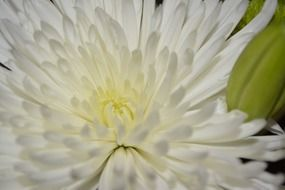 white chrysanthemum macro photo