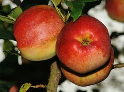 ripening red apples on the tree