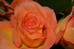 macro romantic pink yellow rose