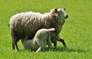 sheep with a lamb on a green meadow close up