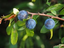 schlehe berries blue bush fruit