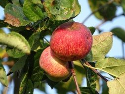 ripe apples in autumn