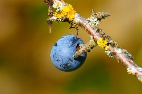 blackthorn blue berries nature