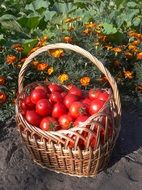 a bunch of red tomatoes are in a big basket
