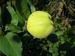 green quince on a branch