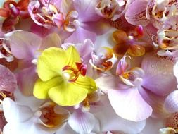 yellow orchid flower among purple orchid flower