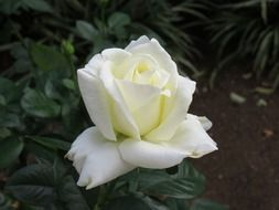 lonely white rose