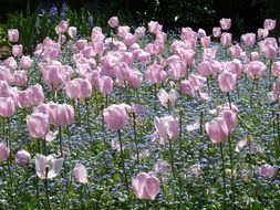 glade of purple tulips in the sunlight