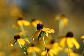 rudbeckia flowers at fall