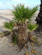 date palm on the beach