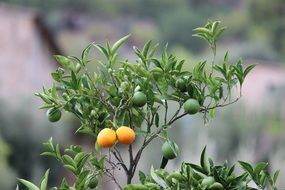 juicy appetizing oranges tree