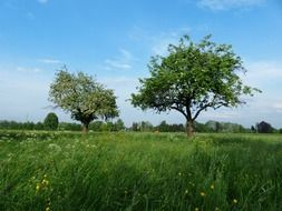 apple trees on a green meadow