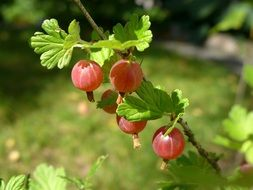 red berries of a gooseberry on a branch
