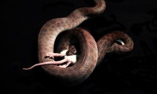 snake eating mouse dramatic scene