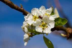 Pear flowers blossom