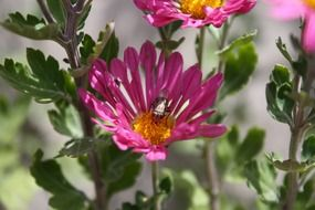 insect collects pollen from the Aster