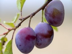 three ripe plums on a branch