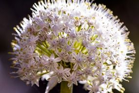 white onion flower close up