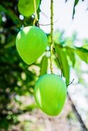 green mango fruits on branch