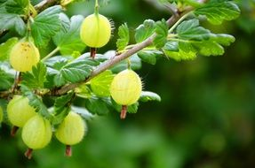 fruit fruits green gooseberry