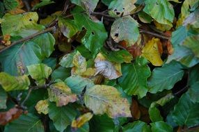 Beech plant leaves
