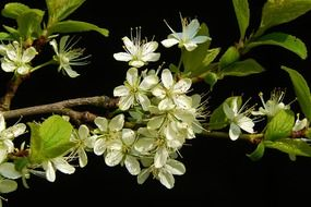 flowering branch of fruit tree