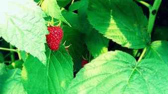 ripe strawberries in the forest