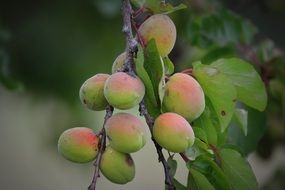 extremely delicious apricots fruit
