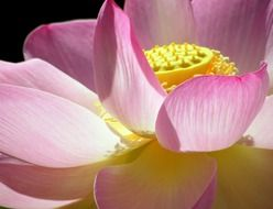 Photi of pink flower lotus