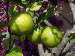 green lemons on a tree