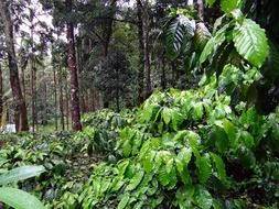 coffee plantations in India