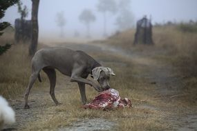dog eating meat