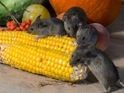 mice are eating corn