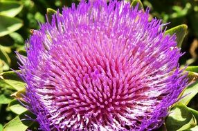 purple artichoke flower