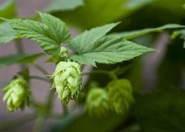 hops, plant with fruits close up