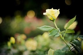 pale yellow rose on a stem close up