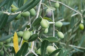 olives on an olive tree
