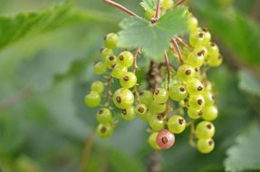 red currant green berries