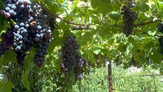 hanging blue grapes